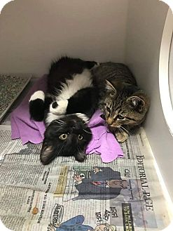Domestic Shorthair Kitten for adoption in Henderson, North Carolina - Penny & Pepper