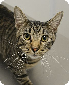 Domestic Shorthair Cat for adoption in Springfield, Illinois - Runt