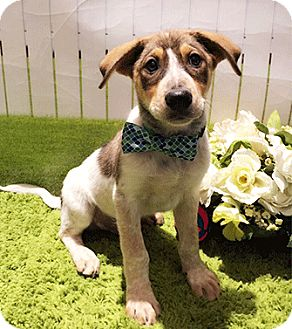 Labrador Retriever Mix Puppy for adoption in Castro Valley, California - Colby