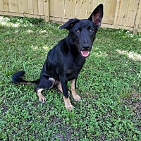 German Shepherd Dog/Labrador Retriever Mix Puppy for adoption in Houston, Texas - Noelle