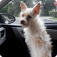 Adopt A Pet :: SCRUFFY - Terra Ceia, FL
