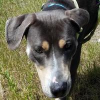 Adopt A Pet :: Jax - Sheridan, WY