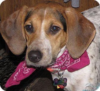 Bluetick Coonhound/Beagle Mix Dog for adoption in Omaha, Nebraska - Heartliy