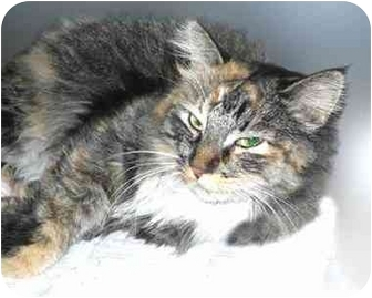 Maine Coon Cat for adoption in San Clemente, California - POM POM