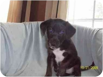 American Pit Bull Terrier/Labrador Retriever Mix Puppy for adoption in Plainfield, Illinois - Ty
