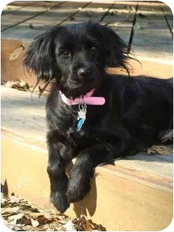Cocker Spaniel Mix Dog for adoption in Sugarland, Texas - Tess