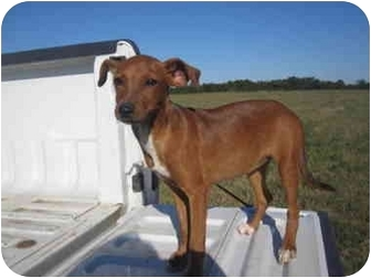 Miniature Pinscher/Dachshund Mix Puppy for adoption in Exeter, New Hampshire - Baby Doe