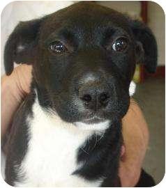 Labrador Retriever/Border Collie Mix Puppy for adoption in Old Bridge, New Jersey - Gema