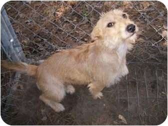 Cairn Terrier/Terrier (Unknown Type, Small) Mix Dog for adoption in El campo, Texas - Honey