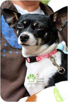 Rat Terrier/Chihuahua Mix Dog for adoption in Mission Viejo, California - Mama Mia