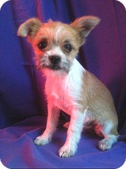 Border Terrier Mix Puppy for adoption in Pasadena, California - TINY PANCAKE, 3 lbs!