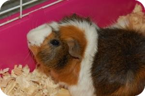 Guinea Pig for adoption in Brooklyn, New York - Guinea Pigs