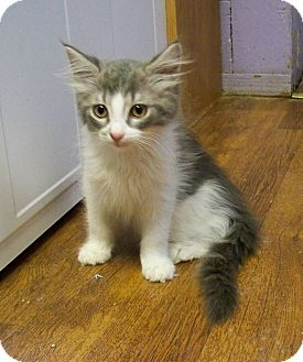 Domestic Longhair Kitten for adoption in Dover, Ohio - Patrick