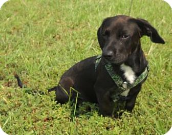 Dachshund Mix Puppy for adoption in Larned, Kansas - Doby
