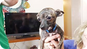 Chihuahua Puppy for adoption in Perris, California - Abby