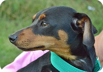 Terrier (Unknown Type, Small)/Dachshund Mix Dog for adoption in Searcy, Arkansas - Archy