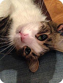 Domestic Longhair Cat for adoption in Tustin, California - Koty
