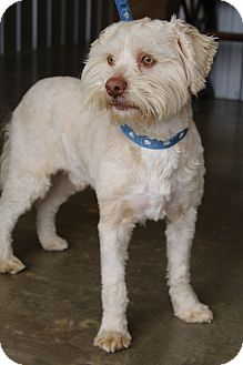 Maltese/Poodle (Miniature) Mix Dog for adoption in Wytheville, Virginia - Johnny