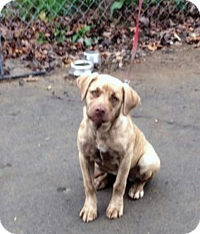 Vizsla/Catahoula Leopard Dog Mix Puppy for adoption in Minneapolis, Minnesota - Tootsie