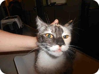Domestic Mediumhair Cat for adoption in Indianapolis, Indiana - BELLA