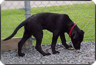 Labrador Retriever Puppy for adoption in Kirkland, Quebec - Skippy