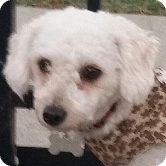 Bichon Frise Mix Dog for adoption in La Costa, California - Robbie