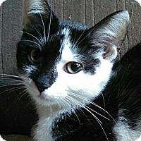 Domestic Shorthair Cat for adoption in Brighton, Missouri - Cynthia