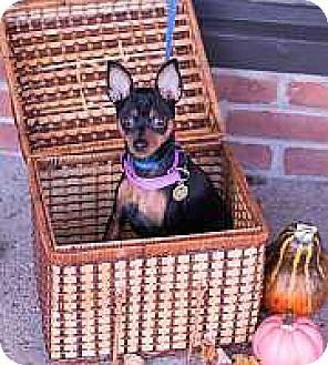 Miniature Pinscher Puppy for adoption in Syracuse, New York - Charlie