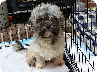Poodle (Miniature)/Shih Tzu Mix Dog for adoption in Bowie, Maryland - Adopted! Wicket