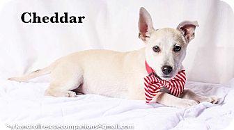 Chihuahua Mix Dog for adoption in Baton Rouge, Louisiana - Cheddar