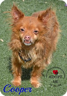 Chihuahua Mix Dog for adoption in Youngwood, Pennsylvania - Cooper