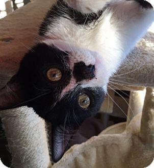 Domestic Shorthair Kitten for adoption in Las Vegas, Nevada - Oracle