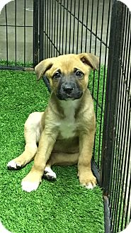 German Shepherd Dog/Australian Shepherd Mix Puppy for adoption in Carson, California - Primm