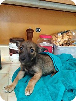 Chihuahua Mix Puppy for adoption in Danbury, Connecticut - Artemis