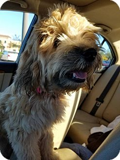 Labradoodle Mix Puppy for adoption in Fort Atkinson, Wisconsin - Gigi