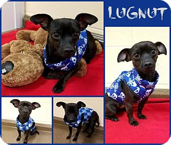 Chihuahua Mix Dog for adoption in Joliet, Illinois - Lugnut