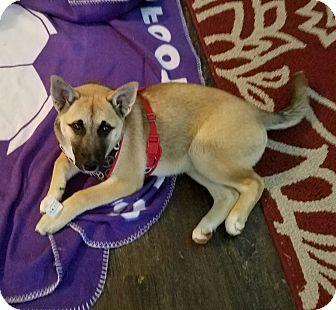 Akita/German Shepherd Dog Mix Puppy for adoption in Hainesville, Illinois - Aikita