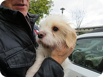 Lhasa Apso/Jack Russell Terrier Mix Dog for adoption in San Francisco, California - Alex