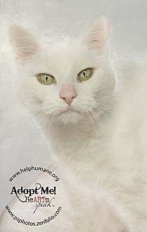 Domestic Shorthair Cat for adoption in Belton, Missouri - Little Miss