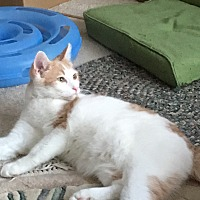 Domestic Shorthair Cat for adoption in Middleton, Wisconsin - Sammy