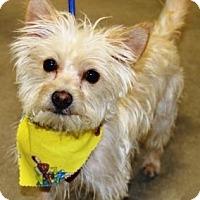 Adopt A Pet :: Widget - Gilbert, AZ