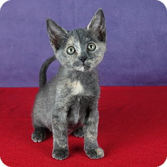 Domestic Shorthair Kitten for adoption in Columbia, Illinois - Patience