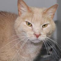 Domestic Mediumhair/Domestic Shorthair Mix Cat for adoption in Robinson, Illinois - Moe