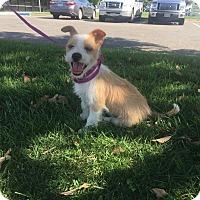 Adopt A Pet :: Scrappy Doo - Bakersfield, CA