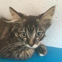 Adopt A Pet :: Caper - Los Angeles, CA