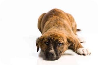 German Shepherd Dog/Boxer Mix Puppy for adoption in Portland, Oregon - Fancy