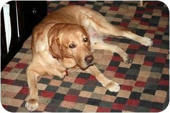 Labrador Retriever Dog for adoption in Largo, Florida - Prince