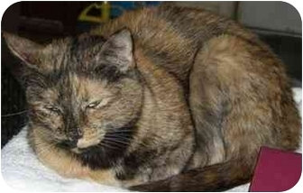Domestic Shorthair Cat for adoption in Lyons, Texas - Abby