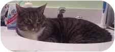 Domestic Shorthair Cat for adoption in Arlington, Virginia - Nelson
