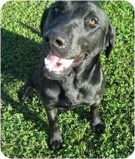 Labrador Retriever Mix Dog for adoption in Calgary, Alberta - Landy